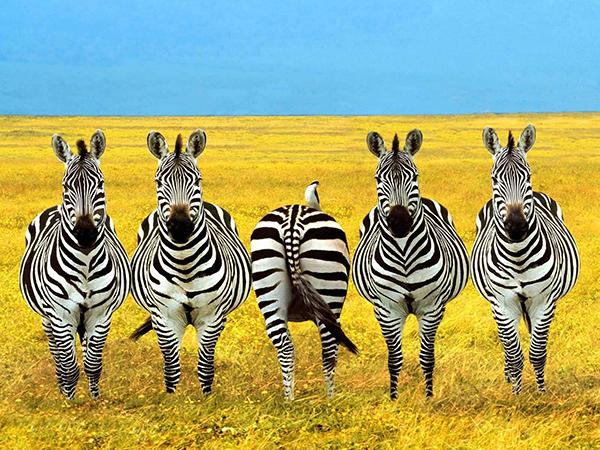 Contrarian Investors Psychology Zebra